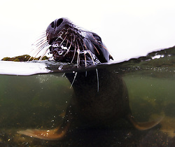 Male Hooker's / New Zealand sea lion (Phocarctos hookeri) in water, Campbell Island, New Zealand, sub Antarctic Islands