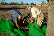 Spanien Spain,Mallorca Balearen..Felanitx..Mandelernte, Bauern ernten Mandeln..Almond harvest....