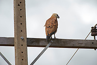Black-collared Hawk (Busarellus nigricollis), Araras Ecolodge,  Mato Grosso, Brazil (Photo: Peter Llewellyn)
