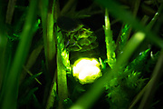 Glow worm female (Lampyris noctiluca) displaying in grass. Surrey, UK.