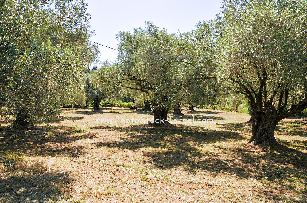 Olive tree orchard photographed in Israel