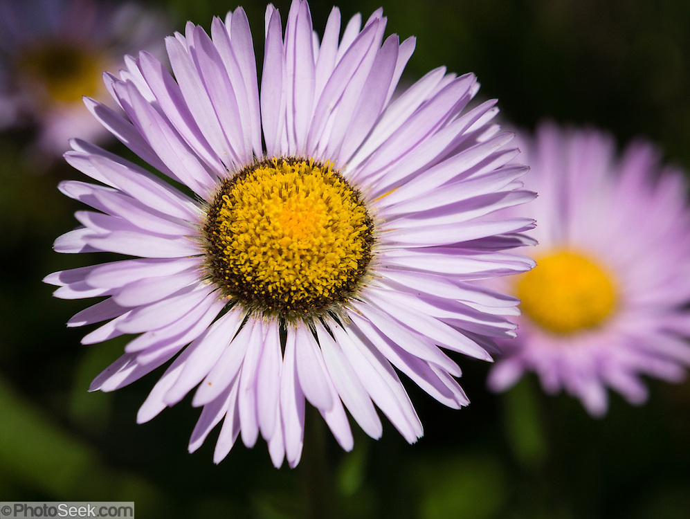 An aster flower blooms with lavender color on Whistler Mountain in the Coast Mountains, British Columbia, Canada. The aster, daisy, or sunflower family (Asteraceae or Compositae) is the largest family of vascular plants.