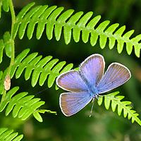 Alberto Carrera, Gossamer-Winged Butterfly, Lycaenidae, Guadarrama National Park, Segovia, Castilla y León, Spain, Europe.