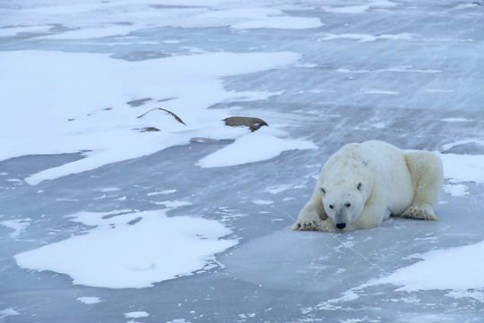 Polar Bear, (Ursus maritimus) On frozen ice of Churchill, Manitoba. Canada. Resting. Blowing snow.
