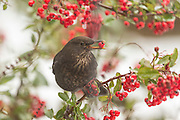 Female blackbird in a Pyracantha bush, with a berry in its mouth. Set against a backdrop of snow.