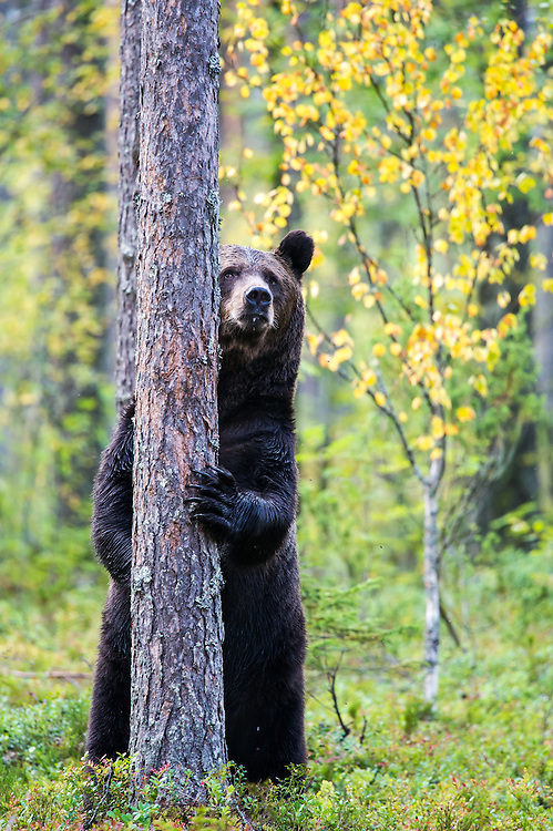 Brown bear (Ursus arctos) standing behind tree playing hide and seek