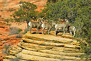 Bighorn sheep (Ovis canadensis) wait in line to feast on vegetation on a sandstone bluff in Zion National Park, Utah.