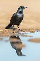 Red-winged Starling male standing on the waters edge and reflected in the water, De Hoop Nature Reserve, Western Cape, South Africa