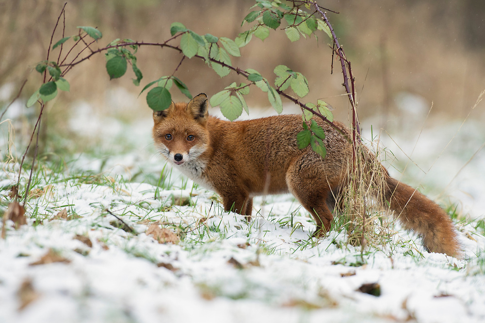 Red fox (Vulpes vulpes) female in snow. Kent, UK. January 2013