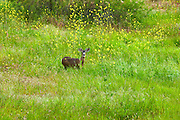 Pacific Black Tail Deer in the Mustard Field