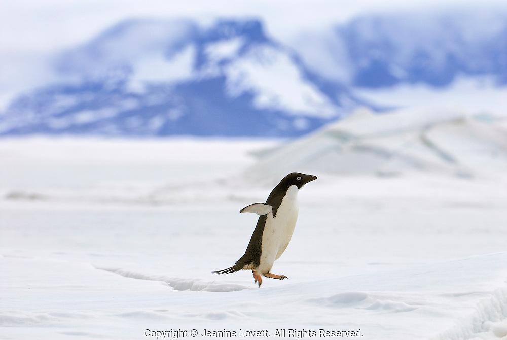 Adelie penguin jumps over crevasse a crack in the ice on its way back to the nest with mountains in the background.