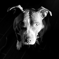 Close up of Pit Bull dog, looking up asking for love