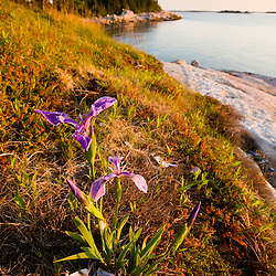 A blue flag iris on the coast of Maine's Great Wass Island near Jonesport. Nature Conservancy preserve.