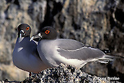 swallow-tailed gulls, Creagrus furcatus, Tower or Genovesa Island, Galapagos Islands, Ecuador,  ( Eastern Pacific Ocean )
