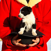 2011 cow dog calendar, december, puppy in a hat, zollinger ranch, mackay, idaho