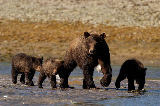Alaskan Brown Bear (Ursus middendorffi) Mother teaching cubs to fish for salmon. Katmai National Park. Alaska.