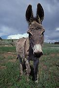 Donkey; Equus asinus; Custer Stae Park