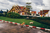 Two stray dogs walk around the grounds of Wat Pra That in Sakon Nakhon province, Thailand. Most temples in the area allow stray animals to come in and stay on the grounds, providing food and safe shelter for them.