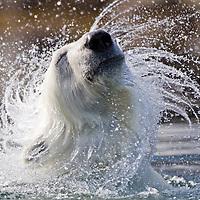 Norway, Svalbard, Spitsbergen Island, Polar Bear (Ursus maritimus) shaking head while swimming along coastline near Sallyhamna (Sally Bay) on summer day