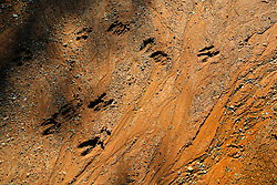Deer tracks on the forest road.