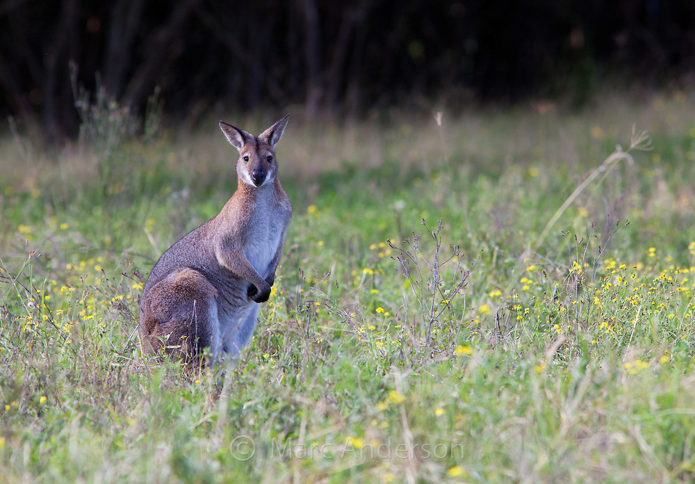 Red-necked Wallaby,  Macropus rufogriseus, Australia