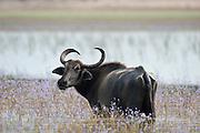 Buffalo at Wilpattu.