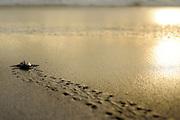 An olive ridley sea turtle hatchling (Lepidochelys olivacea) on its way to the sea. They orient themselves by the brightness of the horizont above the ocean and they are always at risk of being eaten by birds, crabs or later by fish. | Nach 45 bis 55 Tagen Brutdauer im warmen Sand ist diese junge Oliv- Bastardschildkröte (Lepidochelys olivacea) geschlüpft und macht sich auf den gefährlichen Weg zum Wasser. Orientierungshilfe gibt dabei die Helligkeit des Horizonts über dem Meer.
