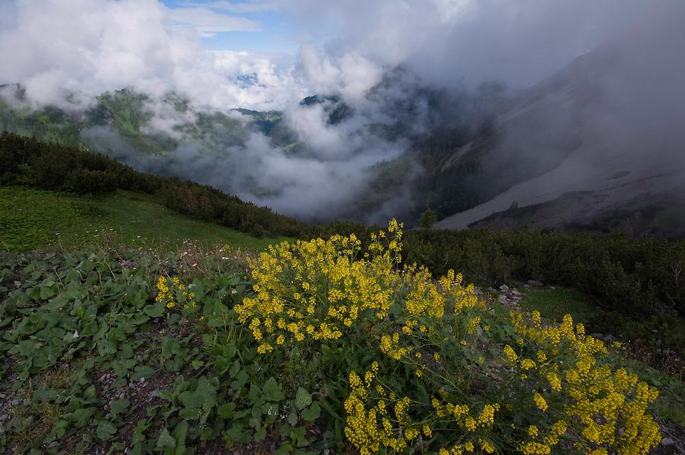 Barbarea vulgaris; Yellow rocket, Malbun, Lichtenstein