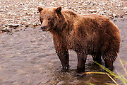 USA, Katmai National Park (AK)?Coastal brown bear (Ursus arctos)