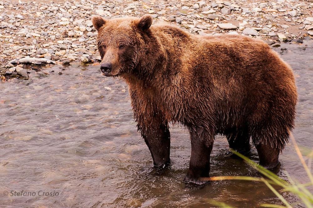USA, Katmai National Park (AK)?Coastal brown bear (Ursus arctos)