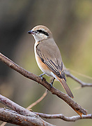 Brown shrike (Lanius cristatus) from Rajasthan, India in February.