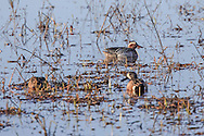 A male Garganey (top) usually found in Europe and western Asia, makes a rare visit to North America at Crex Meadows State Wildlife Area near Grantsburg, Wisconsin where it swims with  native Blue-winged teal. This is the first reported instance of the species in the state.