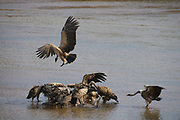 White backed Vultures (Gyps africanus) and Griffon Vultures (Gyps fulvus) feeding on a dead waterbuck in the river Ewaso Ng'iro, Samburu National Reserve, Kenya.