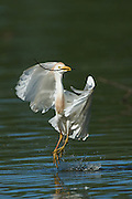 Cattle Egret Takeoff