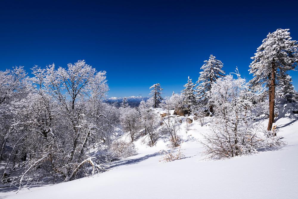 Snow dusted pines in the San Bernardino Mountains above Lake Arrowhead, San Bernardino National Forest, California USA