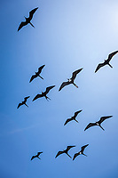 Great Frigate Birds