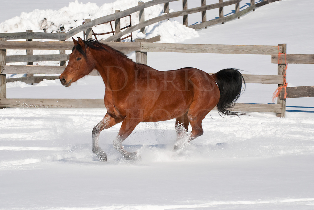 Picture of Arabian horse running across snowy paddock.