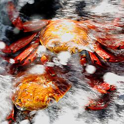 Eine Brandungswelle umspült zweir rote Klippenkrabben. Santa Cruz, Galapagos Inseln, Ecuador.