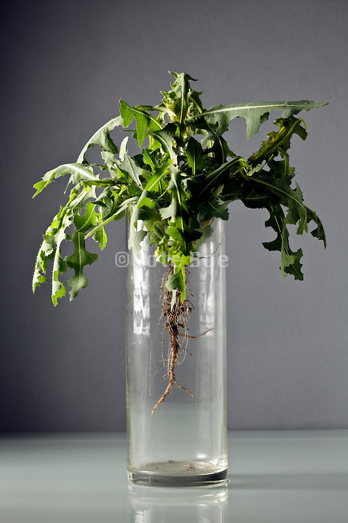 wilting green leaves of a wild flower plant with roots placed in empty without water vase