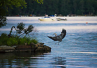 A blue heron comes in for a landing at Indian Island in Meredith Bay Tuesday evening.  (Karen Bobotas/for the Laconia Daily Sun)