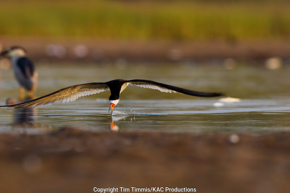 Black Skimmer, Rynchops niger, Bryan Beach, Texas gulf coast, skimming, beak in water, splashing water