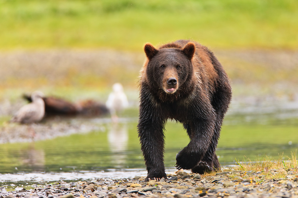 A brown bear (Ursus arctos) stalks the waters of a salmon stream in search of spawning salmon in Windfall Harbor of Admiralty Island National Monument in the Tongass National Forest of Southeast Alaska.  Summer.  Morning.