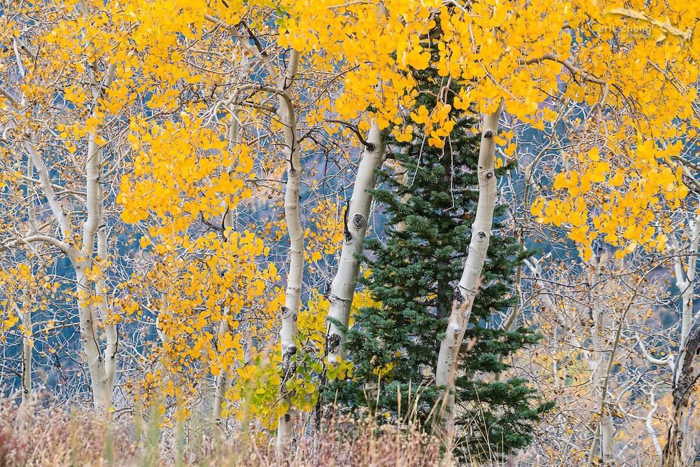 Bright yellow aspen trees and a pine tree, Aspen, Colorado.