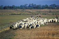 Italie - Toscane - Province de Grosetto - Parc national de la Maremma - Rassemblement des troupeaux par les Butteri