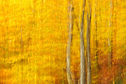 ICM of Deciduous forest of sugar maple trees (Acer saccharum) in Autumn foliage, Near Parry Sound, Ontario, Canada