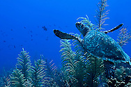Green Sea Turtle, Chelonia mydas, (Linnaeus, 1758), Grand Cayman