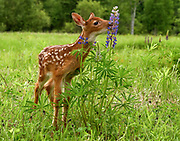White tailed deer fawn encountering tall lupine flowers in a field.<br />