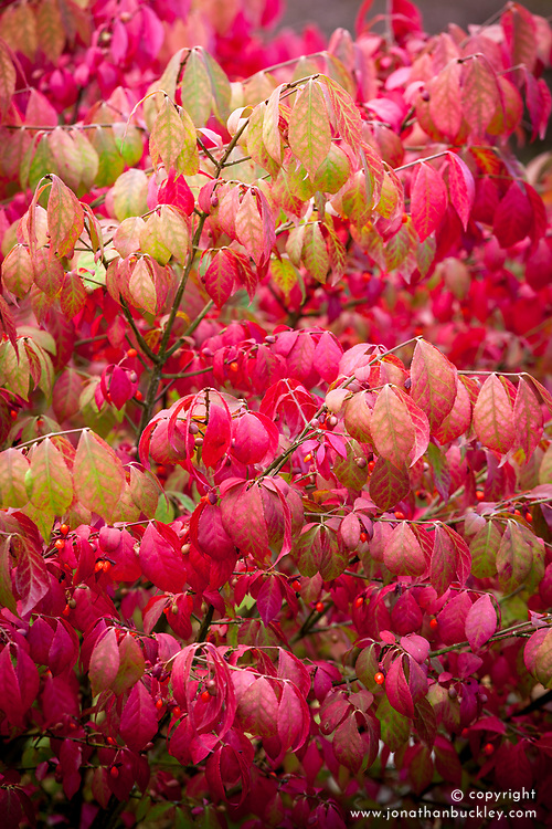 Euonymus alatus 'Fire Ball' in autumn colour. Winged spindle tree/