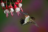Male Ruby-throated Hummingbird in flight.