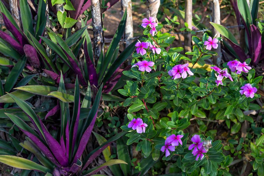 Flowers in Charco Redondo, Granma, Cuba.